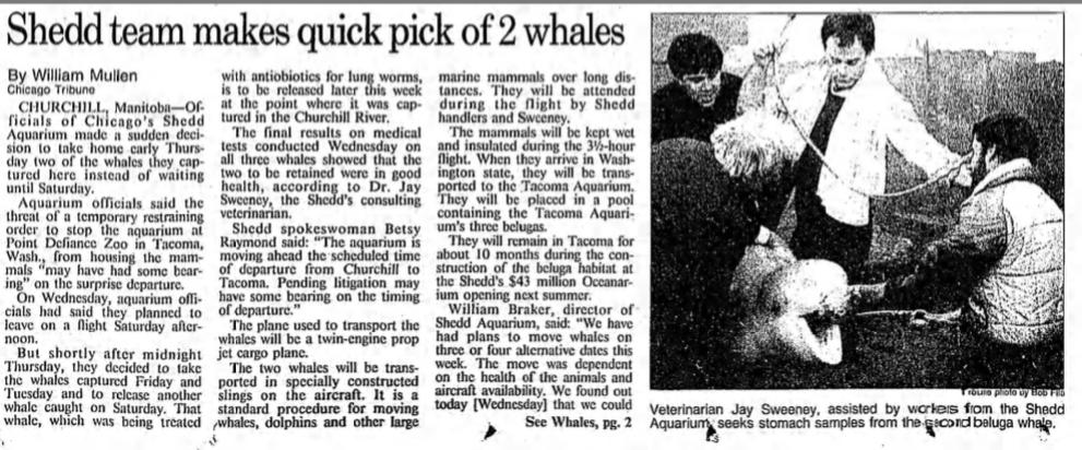 Jay Sweeney beluga captures wild