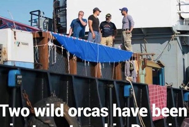 Two Orcas Have Been Captured In Russia