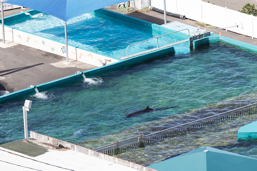 kina false killer whale hawaii sea life park animal cruelty drive fishery iki island taiji breaking news hawaii