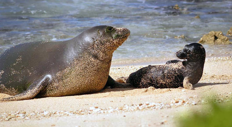 Monk Seal Honey Girl (RA5Y) Dies