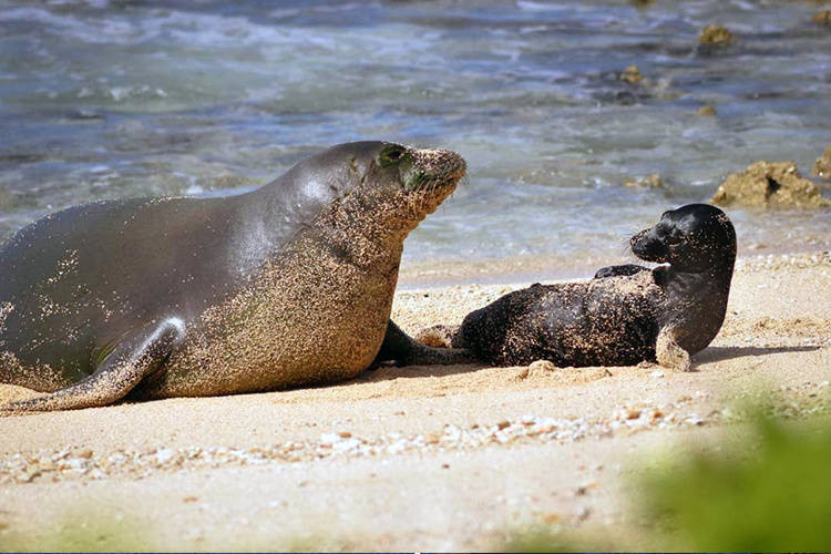 honey girl monk seal hawaii