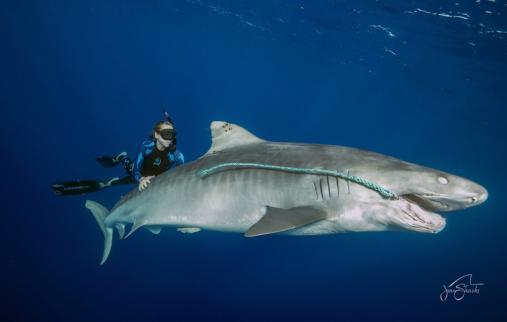 Shark Hawaii Fishing Kayleigh Burns One Ocean Diving Juan Oliphant