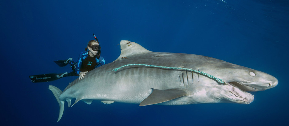 House Bill To Protect Hawaii's Sharks And Rays Passes Judiciary Commmitee