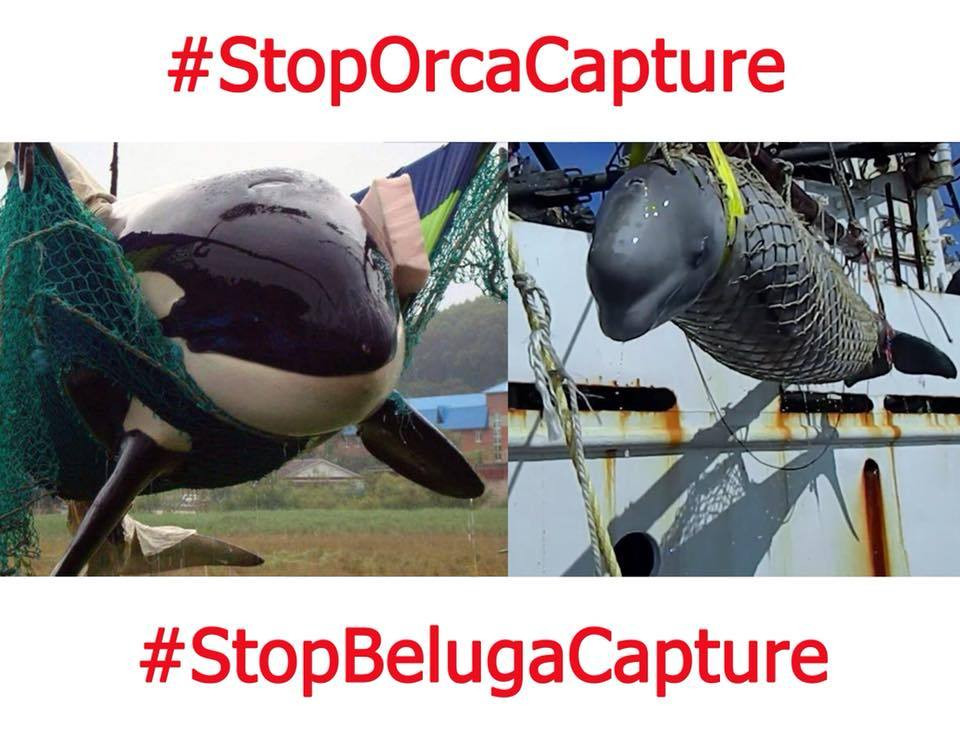 russia orca beluga captures save dolphins