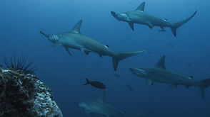 hammerhead-shark-5024671.jpg