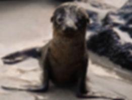 galapagos sea lion up dana bjarner keiko