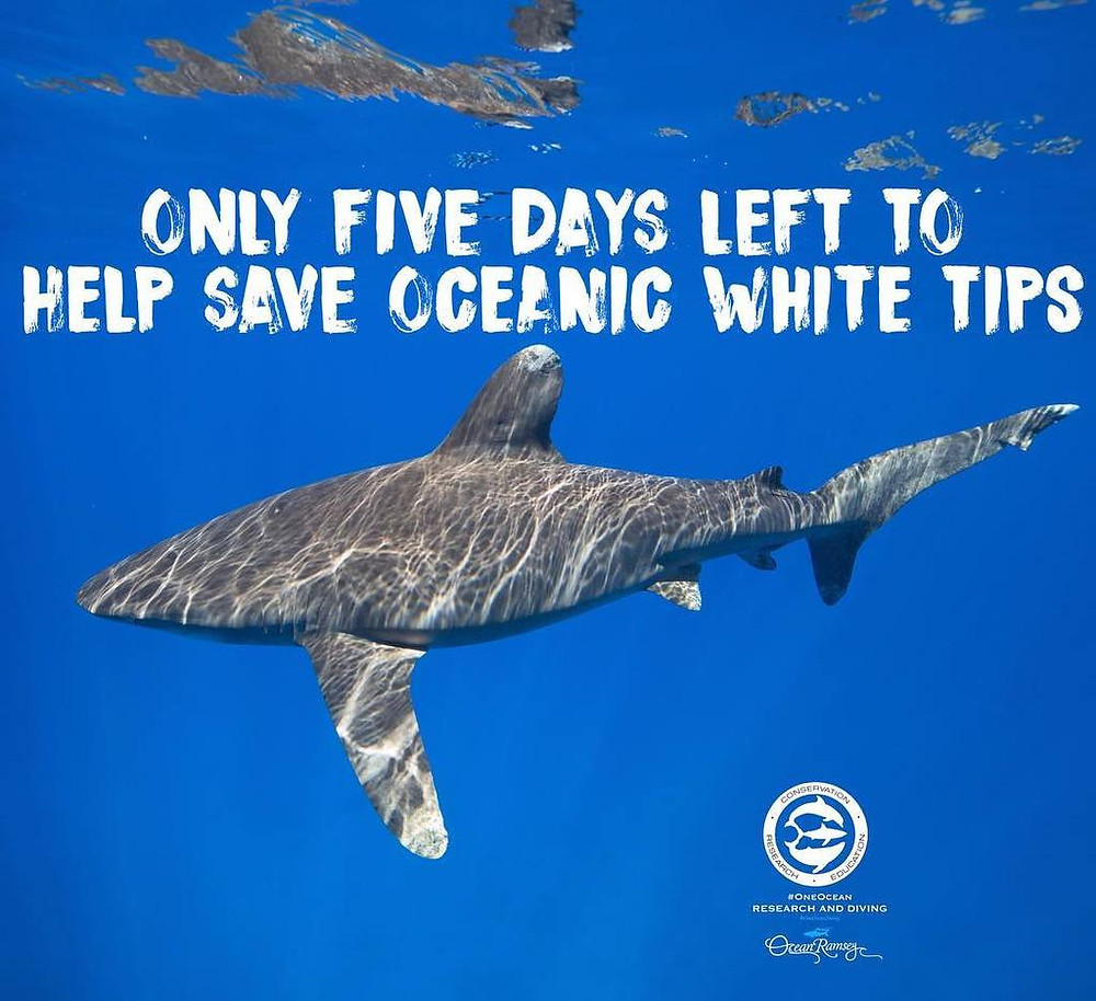 keiko conservation one ocean diving oceanic white tips