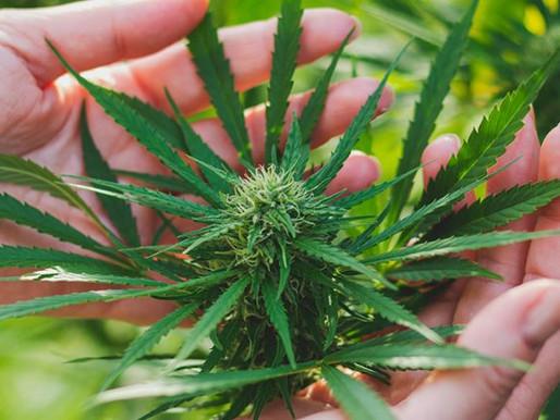 2020年至關重要的五項大麻趨勢