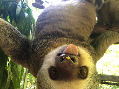 Sloth seen on Medical Spanish conference trip