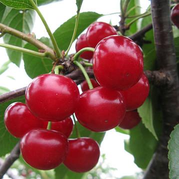 Tart Cherry U-Pick