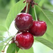 Baleton Cherries