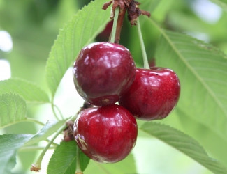 Balaton Cherry U-Pick
