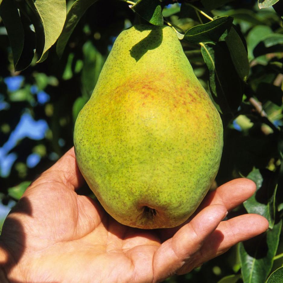 Pear U-Pick