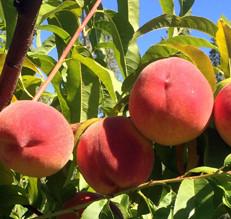Peach U-Pick