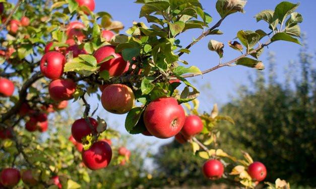Apple U-Pick