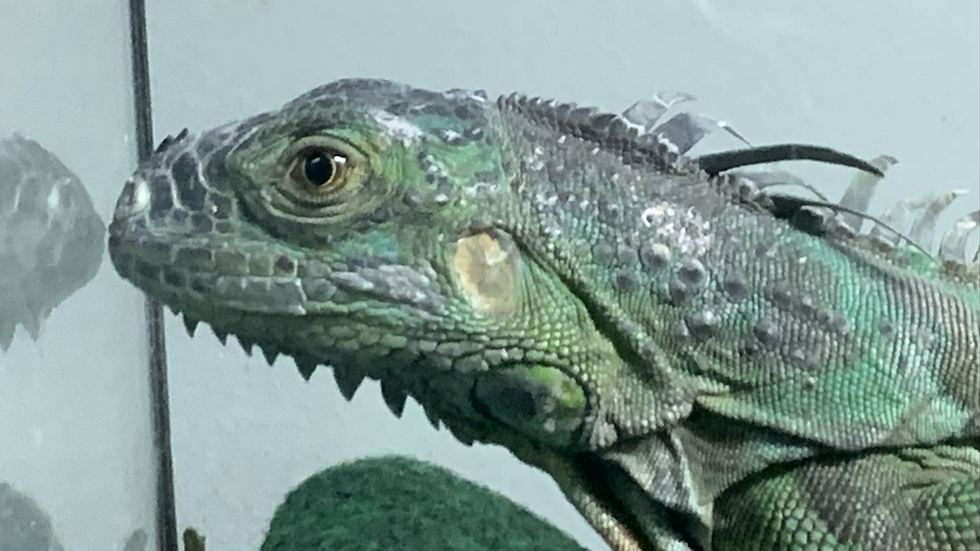Young iguanas