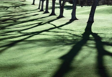 Pin oaks
