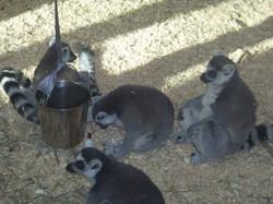 Lounging Lemurs