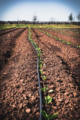 Transplanting Broccoli & Harvesting Collards