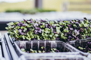 The Arrival of August & Harvesting Microgreens