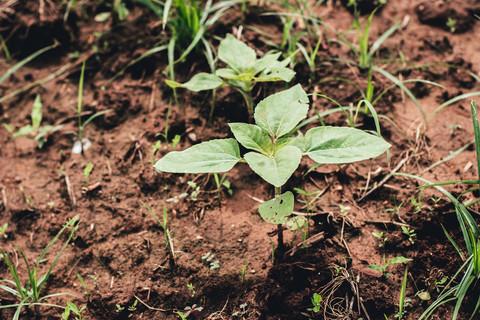 Sowing Sunn Hemp and Sunflowers