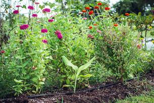 Planting Turmeric and Pigeon Peas