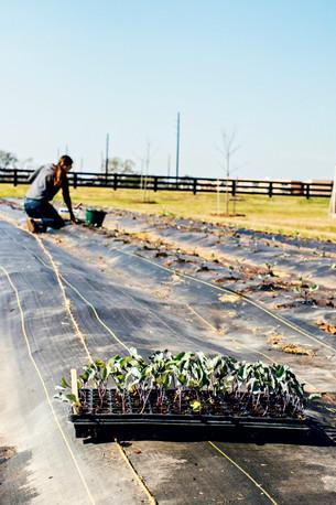 Graffiti Cauliflower Planted & Farm Club Radishes Harvested