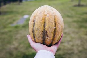 Harvesting Melons & Monitoring Sweet Potatoes