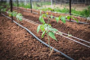 Transplanting Tomatoes & Harvesting Carrots