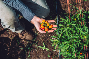 Harvesting Sweet Peppers & Planting Cover Crops