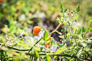 Celebrating Tomatoes & Enjoying the Rain