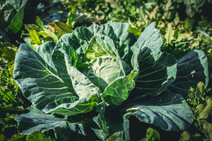Harvesting Green Cabbage & Weeding Beds