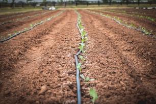 Transplanting Brassicas & Winterizing the Animal Pens