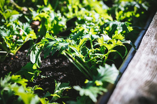 Planting Mizuna & Seeding Perennial Herbs