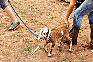 Goats on Leashes & Weeding Like a Boss