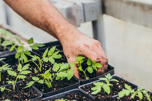 Up-potting Tomatoes & Seeding Peppers