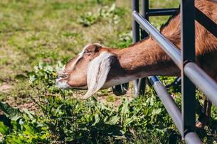 Goat Foraging & Harvesting Kohlrabi