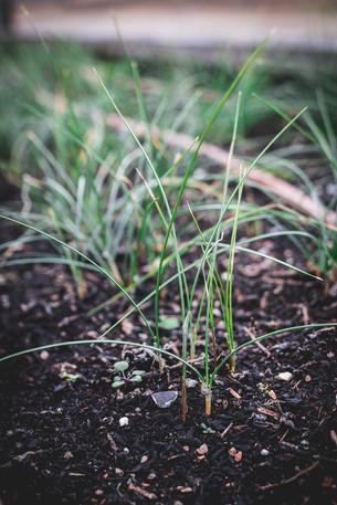 A New Year & Observing Saffron Crocuses