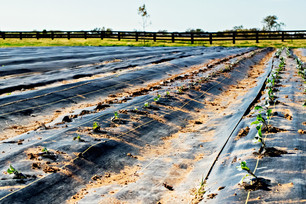 Belstar Broccoli & Cold Weather Cover Crops Planted