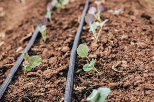 Snap Peas Blooming & Harvesting Bok Choy