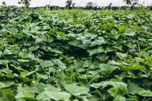 Harvesting Sweet Potato Greens & Transitioning Crops