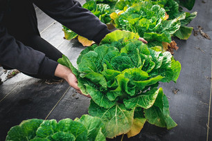Harvesting Chinese Cabbage & Increased Egg Production