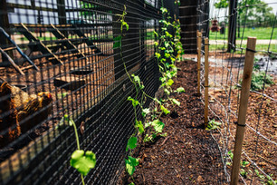 Planting Luffa and Harvesting Big Jim Peppers