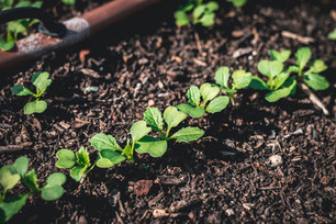 Seeding Hakurei Turnips & Harvesting Brassicas