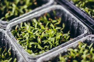 Testing Cilantro Microgreens & Trellising Eggplant