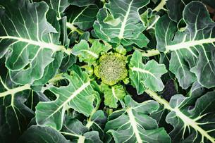 Harvesting Greens & Planning for Summer Crops