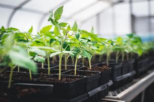 Potting-up Tomato Seedlings & Transplanting a Buffer Row