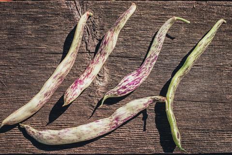 Harvesting Dragon's Tongue Beans and Arugula