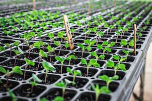 Seeds Germinating & Harvesting Tatume