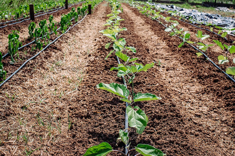 Succession Planting Peppers and Eggplant